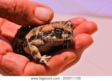 Bufo Common European Toad