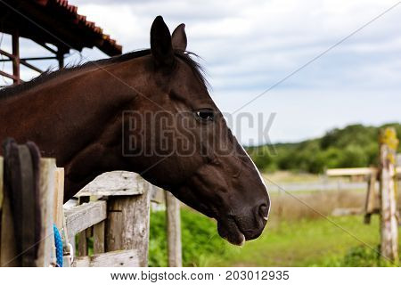 Portrait Of Brown Horse Staying In Stable Outdoor At Summer, Close-up
