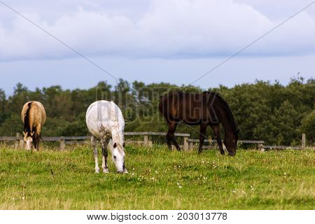 Three Horses Grazing On A Pasture At Summer Day