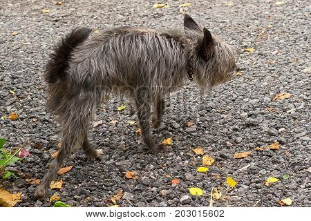 frozen little dog walks along the autumn road. Chinese Crested Dog is a breed of dogs. The dog is small, active, elegant, very cheerful and has a strong attachment to its owner. Close-up. Concept: cute, home, friend, love, affection, kindness, care. Space