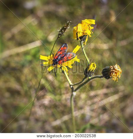 Burnet Moth (zygaena Purpuralis) On Yellow Flower In Summer.