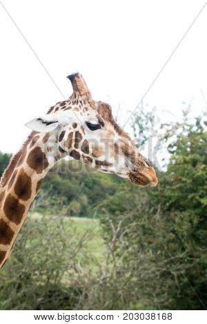 Giraffe Standing In The Wild, Close Up Of Giraffe Face And Head