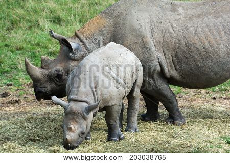 Wild animals Baby rhino with mother grazing outside