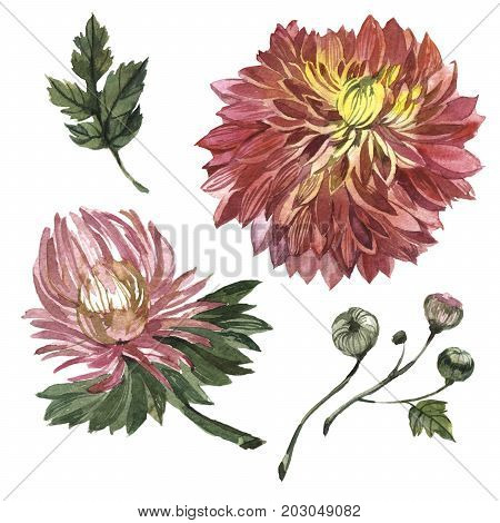 Wildflower aster flower in a watercolor style isolated. Full name of the plant: Aster Duchess Mixed. Aquarelle wild flower for background, texture, wrapper pattern, frame or border.