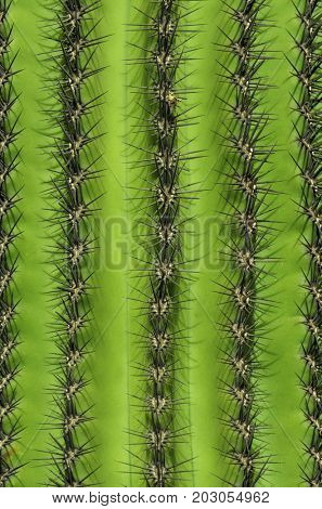Close up of a cactus with rows of spines