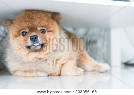 dog pomeranian was waiting for his owner animal feeling concept.