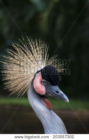 The black crowned crane (Balearica pavonina) is a bird in the crane family Gruidae.