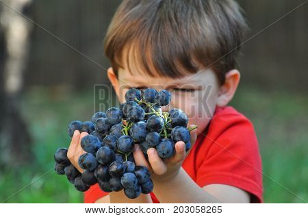 Boy holding grapes. Child's hand holds a large cluster of grapes