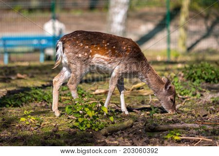 Young roe deer in the forest