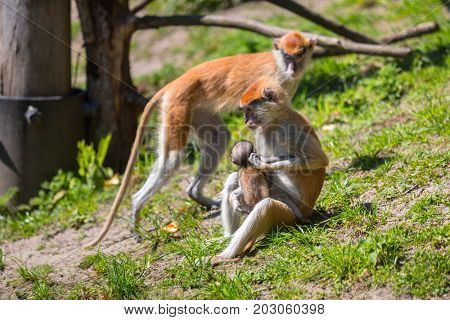 The patas monkeys with little baby