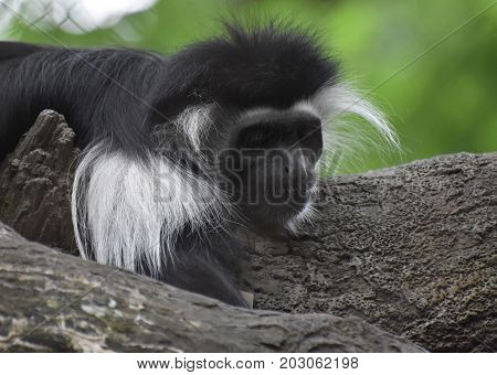 Mantled colobus monkey laying down across a tree trunk.