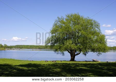 Single tree at water's edge with Canadian geese