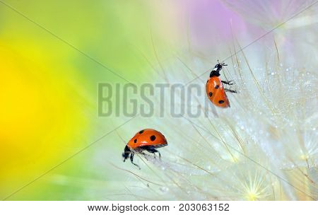 Details of ladybugs on dandelion and dew drops