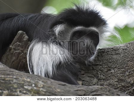 Black and white mantled guereza resting on the trunk of a tree.