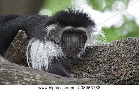Adorable mantled guereza monkey laying on the trunk of a tree.