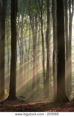 Misty Forest And Sun Rays