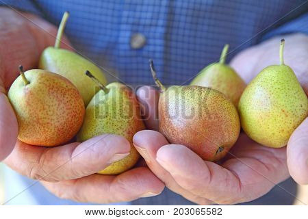 A older man holds several small ripe pears