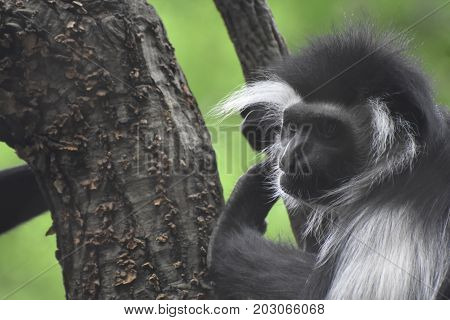 Cute mantled colobus monkey climbing up a tree.