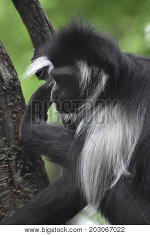 Black and white colobus monkey sitting and resting in the crook of a tree.