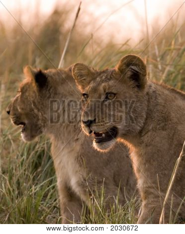 Lion Cubs in Chobe Nationalpark
