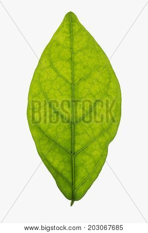 Backlit jasmine leaf isolated on a white white background