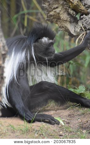 Colobus monkey sitting in the dirt under a tree.