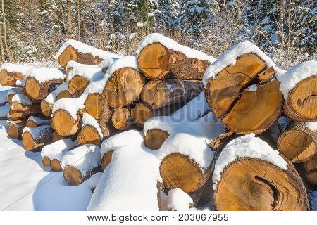 Winter forest. The felled trees in snowdrifts.