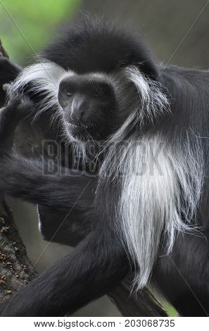 Amazing close-up of a black and white colobus monkey.