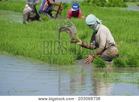 DAVAO ORIENTAL, PHILIPPINES--Muddy water spurts out as a field labor er pulls out the rice seedlings in Banay-banay, Davao Oriental, southern Philippines. Photo taken in March 2016.