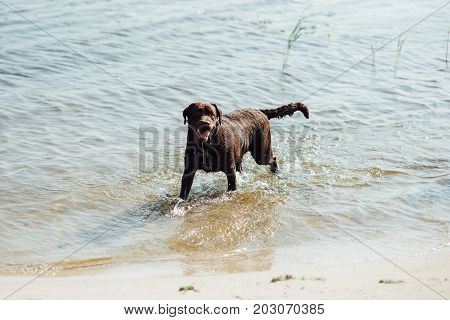 cheerful brown labrador running on water. summer day