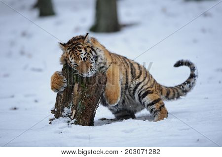 Siberian tiger playing with stump in winter wilderness