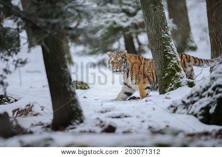 Amur tiger walking on snow in winter forest