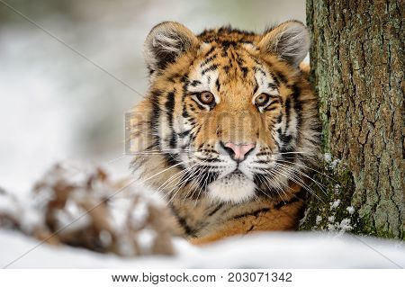 Siberian tiger looking from the tree in winter