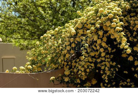 Cascading yellow roses in a walled garden