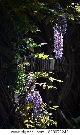 drooping wisteria flowers and vines in an old garden