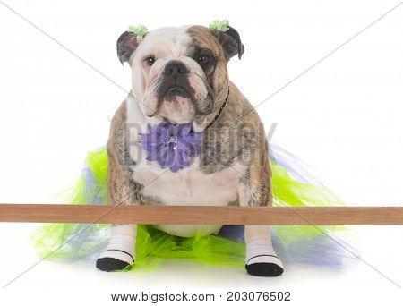 bulldog wearing tutu doing ballet at the barre on white background