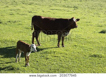 A hereford calf and its mother in a lush pasture.