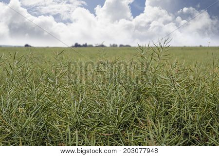 bountiful crop of peas in an english field
