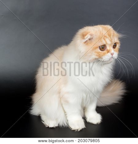Fold Long-haired Ginger Cat On A Black Background, Studio Photo