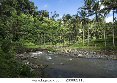 Sayan terraces with river, terraced ricefields, with palmtrees Ubud, Bali, Indonesia