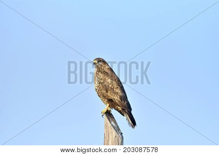 A Buzzard, Buteo Buteo, Perched On A Fence Post