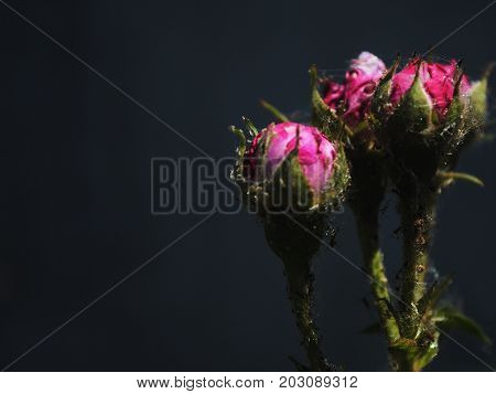 flower, nature, pink, flowers, plant, purple, flora, blossom, bloom, garden, floral, green, red, spring, beauty, bouquet, macro, black, petal, white, summer, rose, closeup, isolated, close-up