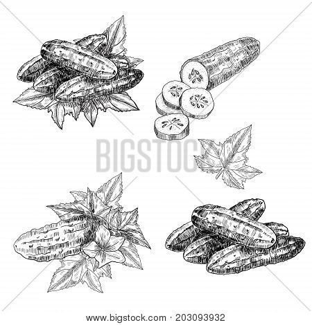 Cucumber set hand drawn vector. Isolated cucumber. Vegetable engraved style illustration. Detailed vegetarian food drawing. Farm market product