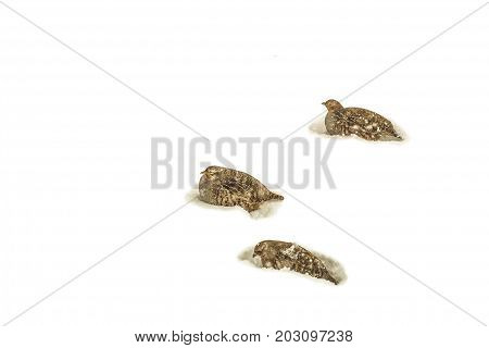 Flock of wild partridges in the snow of the winter steppe. Wildlife birds. Natural background with copy space.