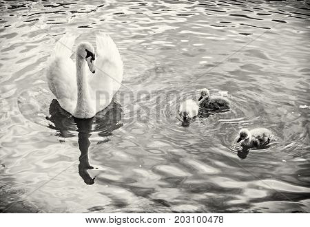 White mother swan swim with her youngs. Seasonal natural scene. Cycle of nature. Black and white photo.
