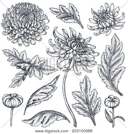 Set of hand drawn chrysanthemum flowers, branches, leaves isolated on a white background. Black and white illustration in sketch engraving style.