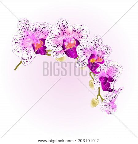 Beautiful isolated Phalaenopsis Orchid purple and white stem with flowers and buds vintage vector closeup editable illustration hand draw