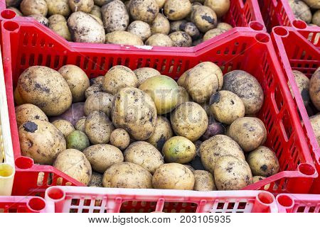 Freshly picked potatoes in a box. Potatoes are reddish. Also on the potato you can see grains of earth
