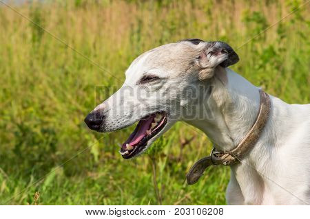 Portrait of a dog of the breed English greyhound