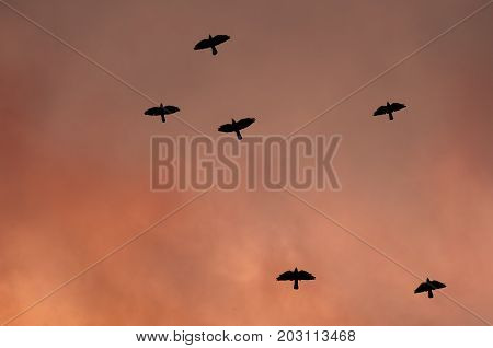 Silhouettes of black birds - a crow on the background of a toned sky. Concept of War and danger